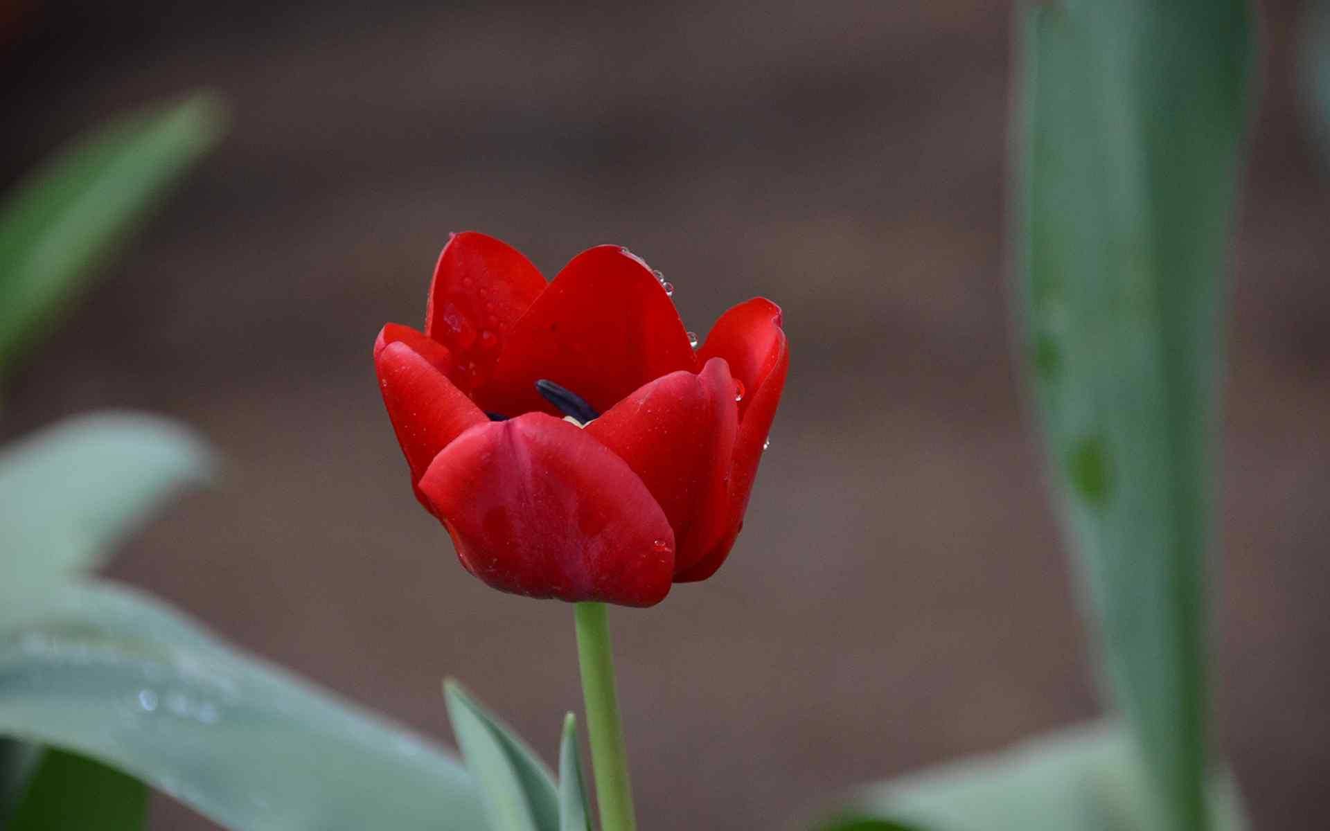 红色郁金香高清植物图电脑壁纸
