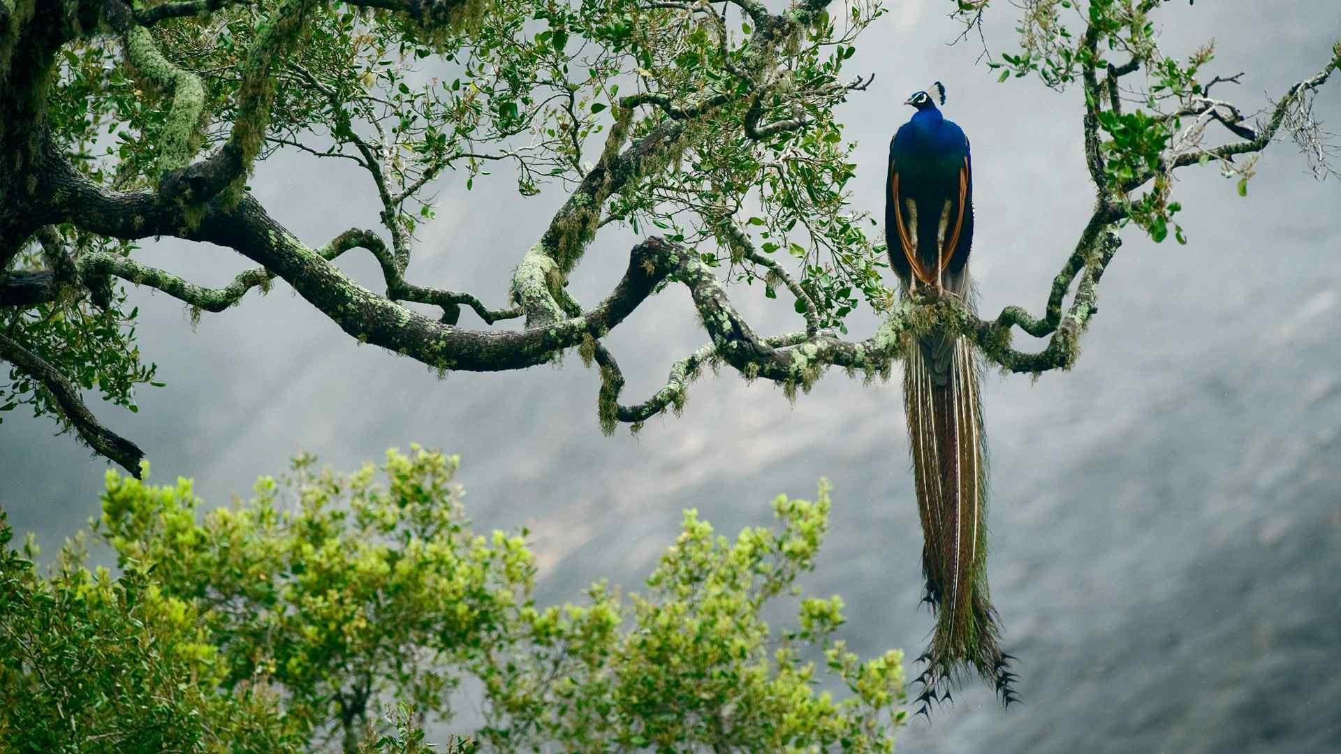 栖息树枝的孔雀高清电脑壁纸