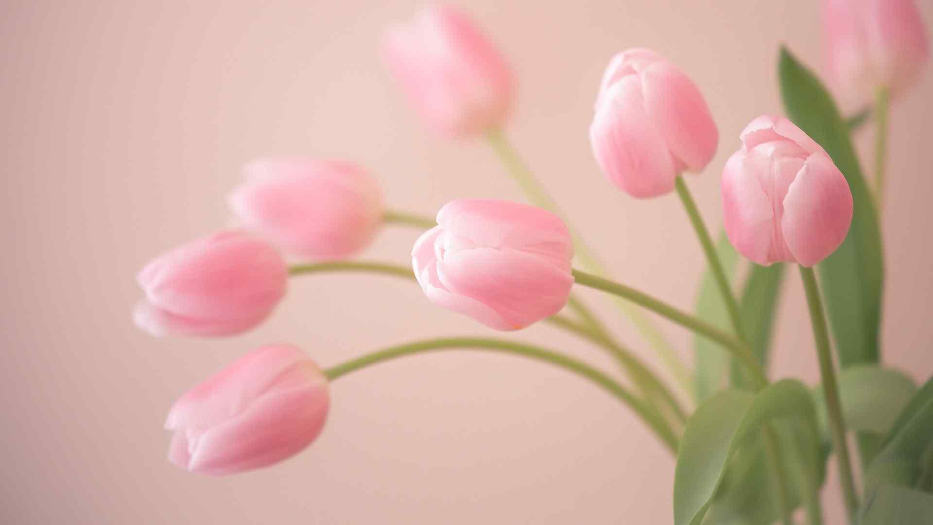 唯美清新粉色郁金香电脑壁纸