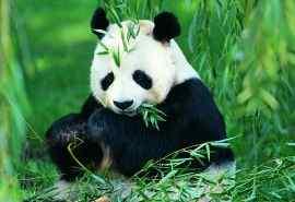 可爱熊猫高清电脑桌面壁纸下载