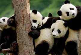 国宝大熊猫俏皮爬树摄影图片桌面壁纸