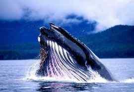 海洋中座头鲸摄影高清电脑桌面壁纸