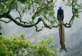 栖息树枝的孔雀高