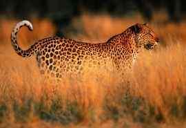 肉食性动物花豹图