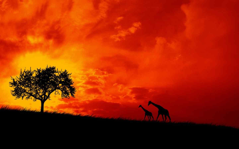 壁纸 动物壁纸 > 非洲大草原长颈鹿夕阳壁纸