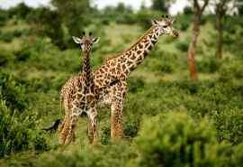 非洲草原上的长颈鹿壁纸