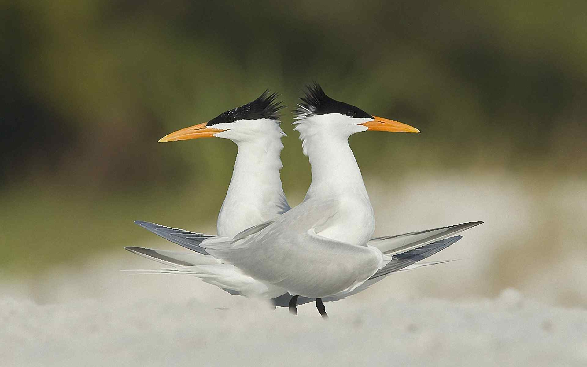 燕鸥高清动物摄影壁纸图片 第二辑