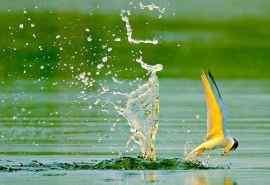 燕鸥高清动物摄影壁纸图片 第一辑