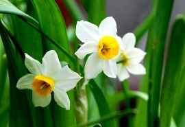 清新水仙花植物高清图片壁纸