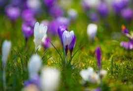 清新植物姹紫嫣红的藏红花高清壁纸图片