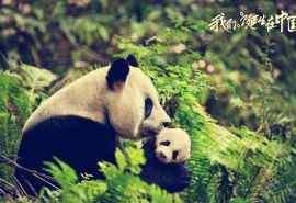 我们诞生在中国可爱大熊猫纪录片电脑桌面壁纸