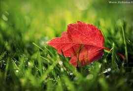 红色枫叶风景电脑