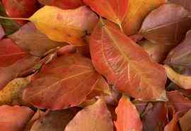 红色落叶植物叶脉