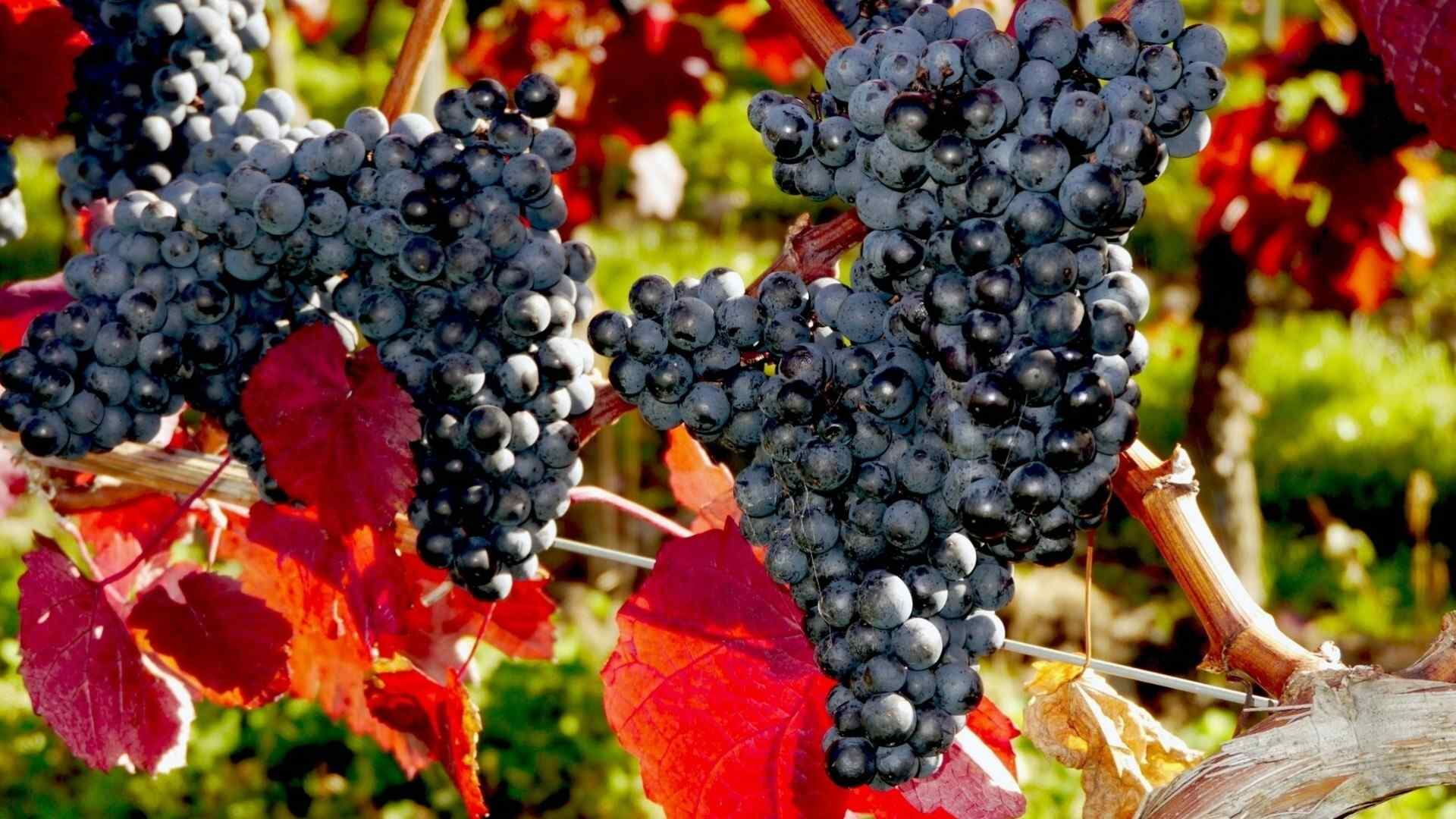 葡萄丰收了新鲜水果桌面壁纸