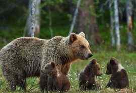 草地里有爱的棕熊一家人电脑壁纸
