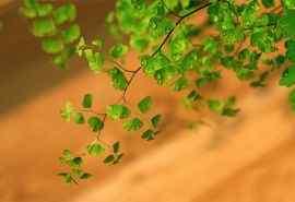 养眼护眼铁线蕨常绿草本植物桌面壁纸 第一辑