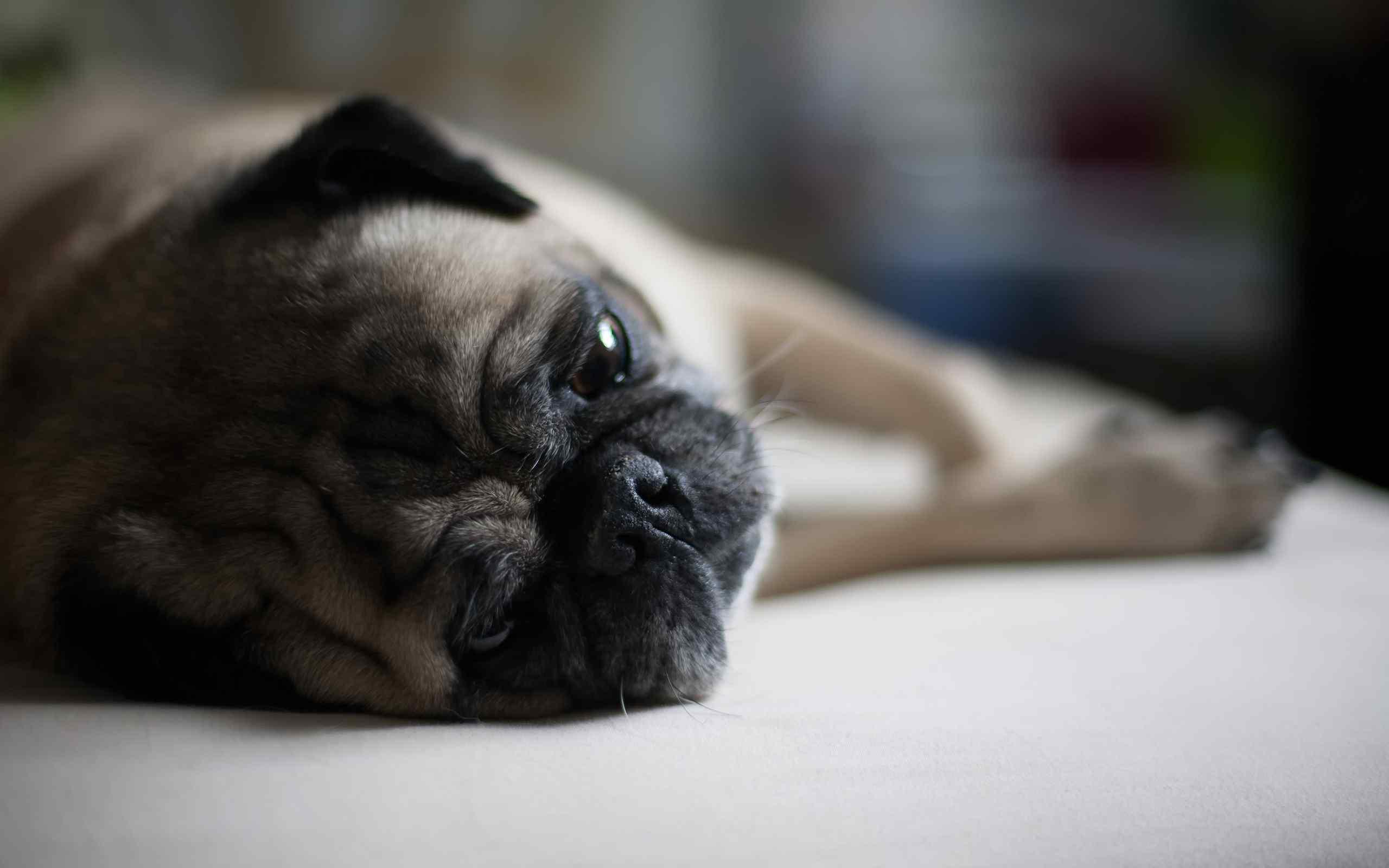 可爱巴哥犬高清萌宠桌面壁纸