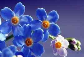 唯美清新植物蓝色鲜花精美高清桌面壁纸图片
