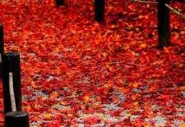 秋天落叶枫叶唯美