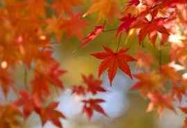 秋天自然风景:红色枫叶唯美壁纸