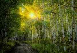 浓密唯美的白桦林风景摄影图片桌面壁纸