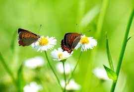 白雏菊花上的蝴蝶电脑桌面壁纸