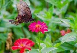流连在花丛中的蝴蝶风景桌面壁纸