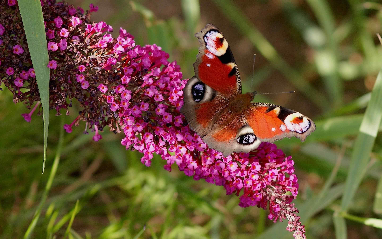 花丛中的蝴蝶唯美自然图片桌面壁纸