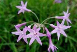 小清新可爱的紫娇花桌面壁纸