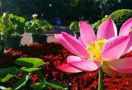 清新唯美荷花植物