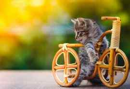 玩具自行车上的可爱小猫咪桌面壁纸