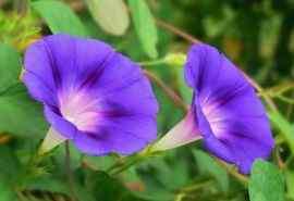 清新的牵牛花植物