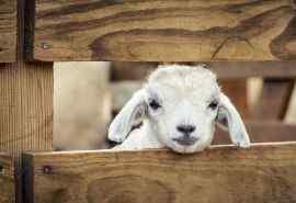 卖萌的摩洛哥羔羊