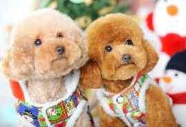 可爱的泰迪宠物狗