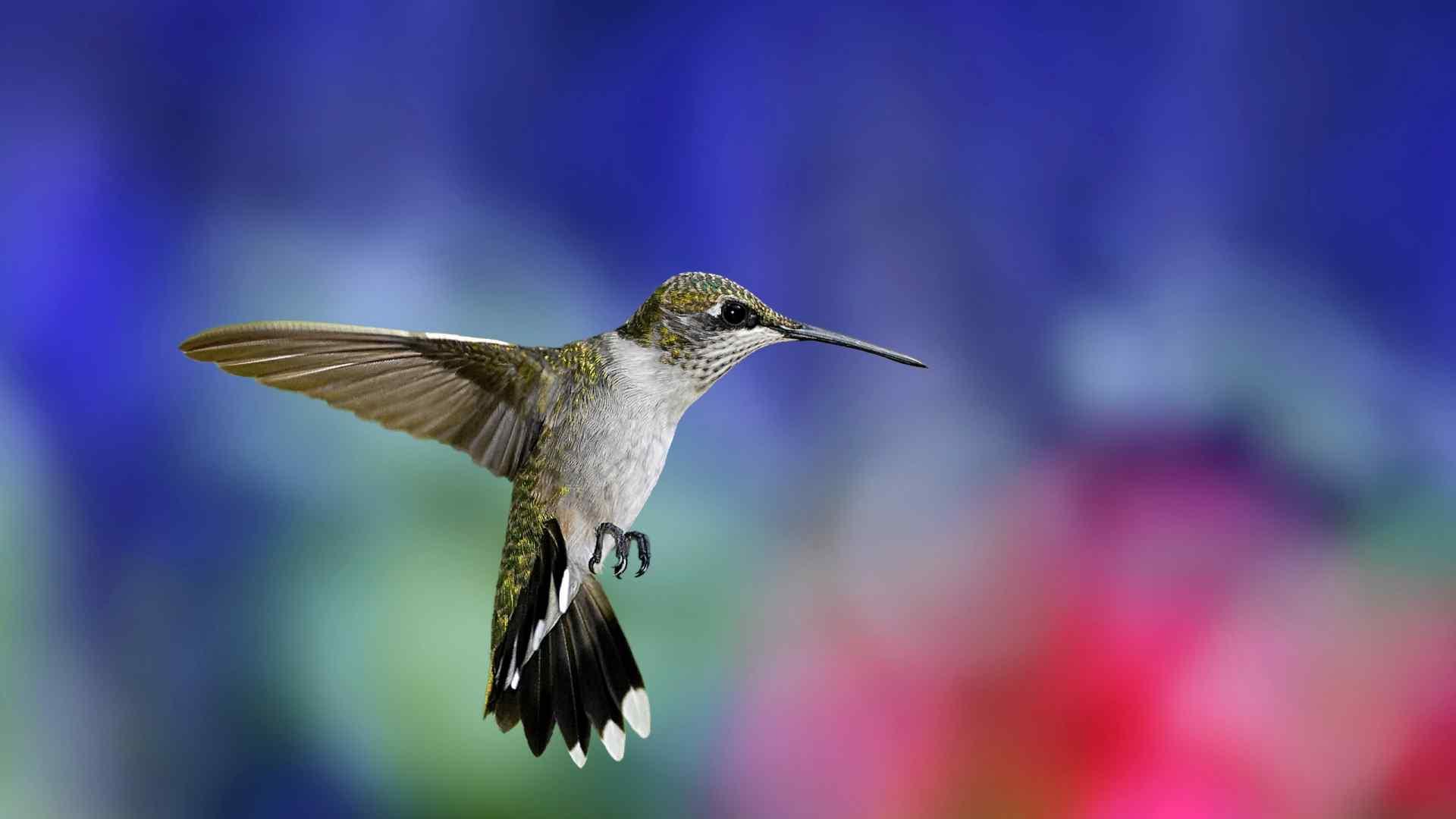 可爱蜂鸟小清新摄影图片高清壁纸