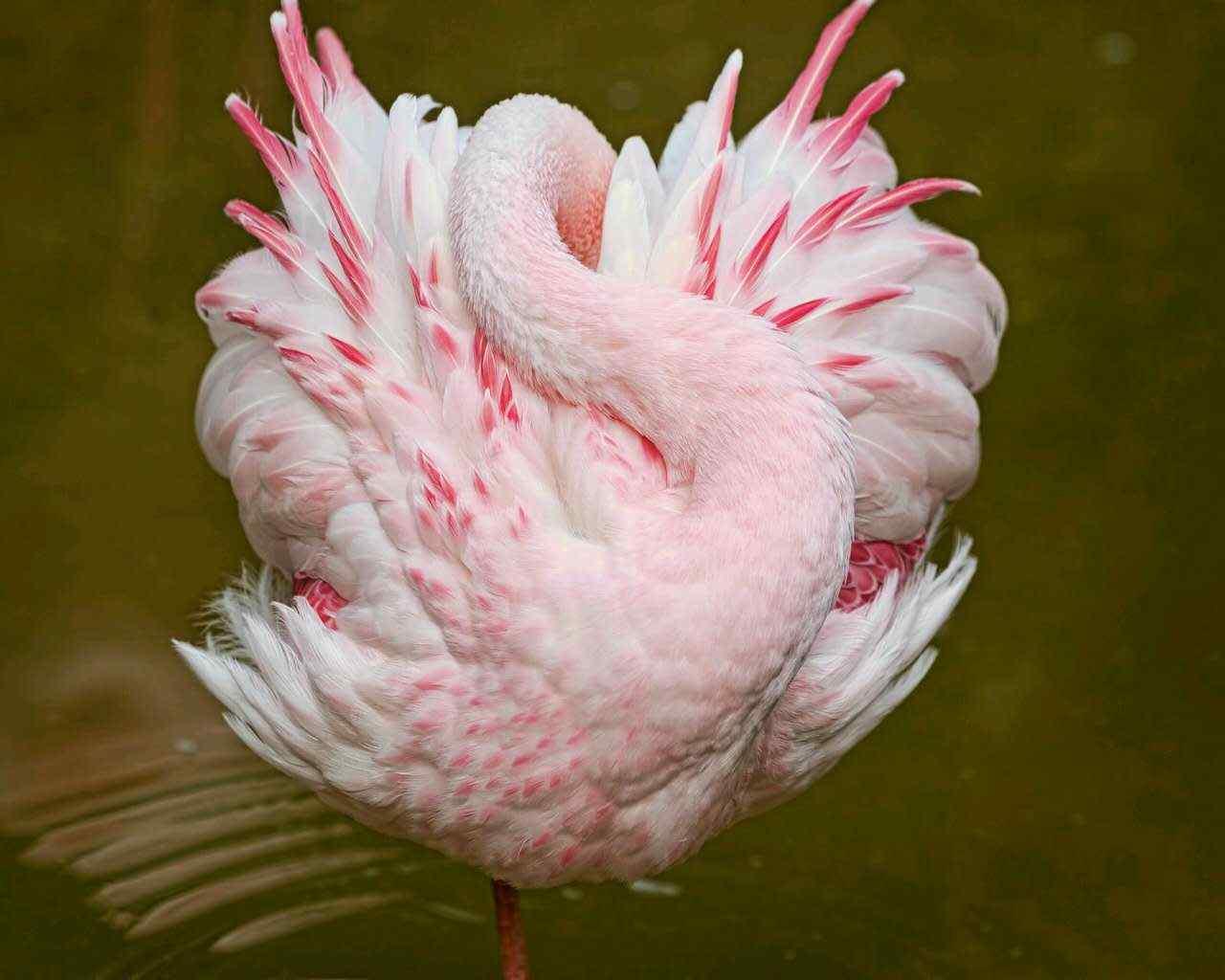 小清新唯美火烈鸟动物图片高清壁纸