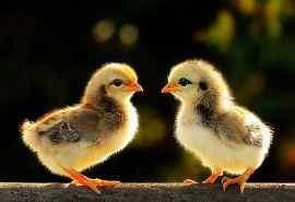 可爱的小鸡图片高