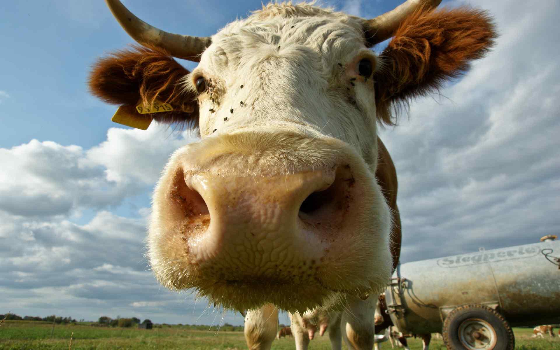 可爱的奶牛雨草原风景桌面壁纸