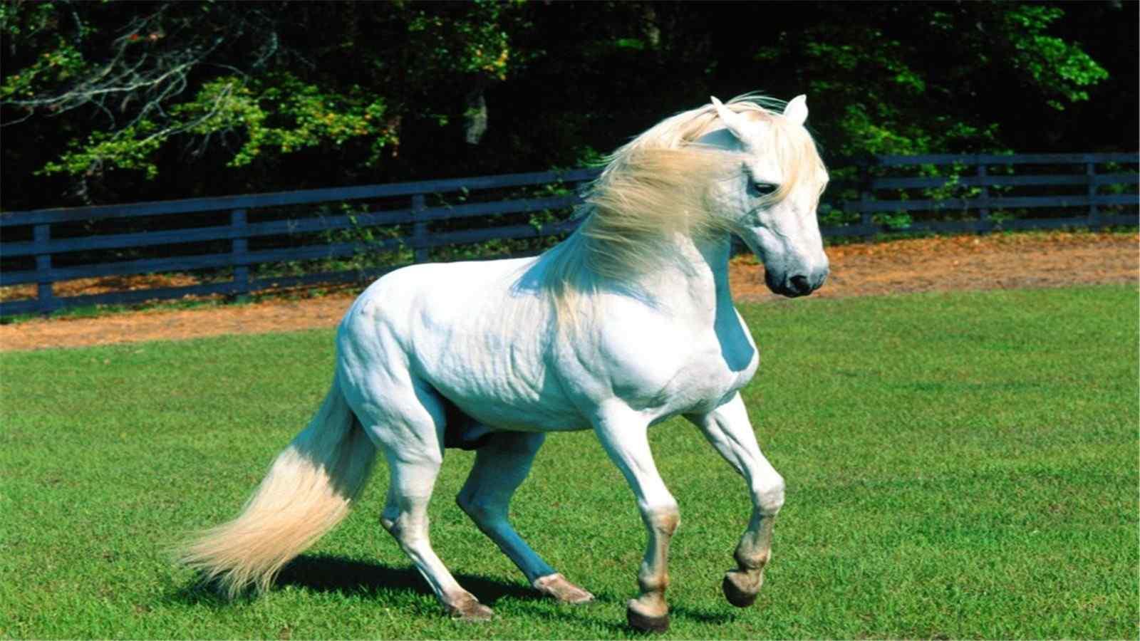 可爱的白色骏马高清桌面图片