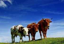 蓝天白云下的牛群