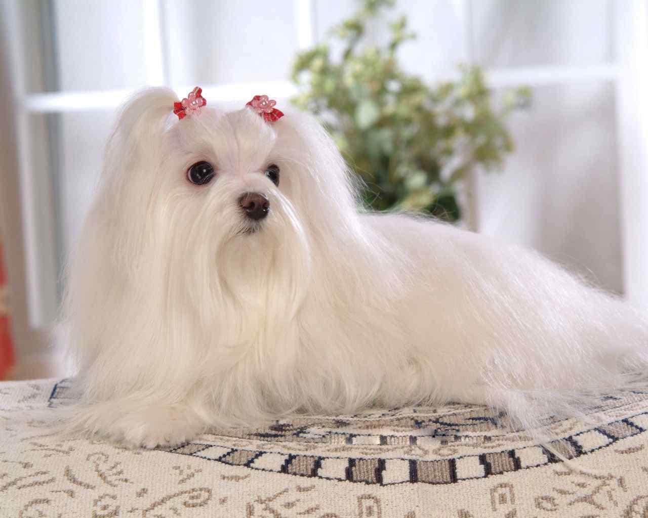 可爱的马尔济斯犬桌面壁纸