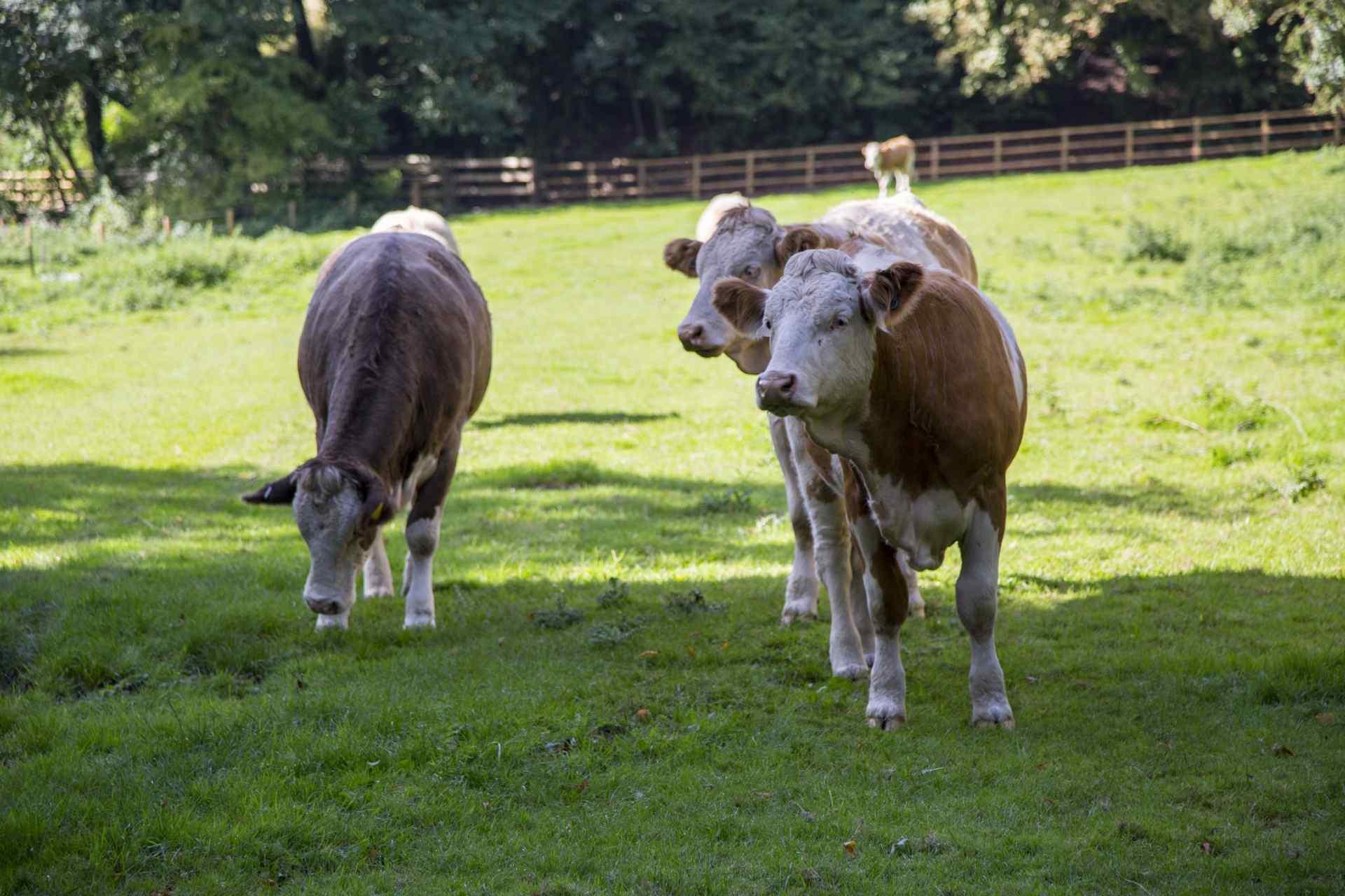可爱呆萌的荷兰奶牛高清图片