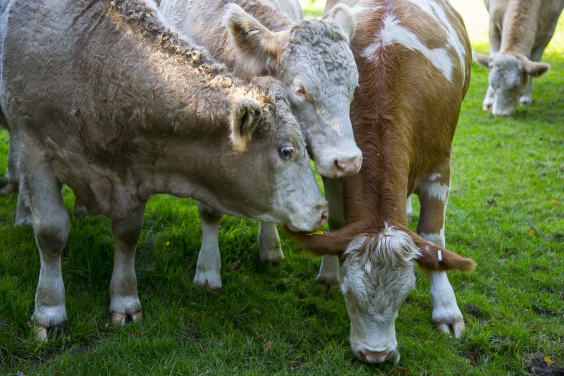 呆萌的荷兰奶牛高清摄影图片