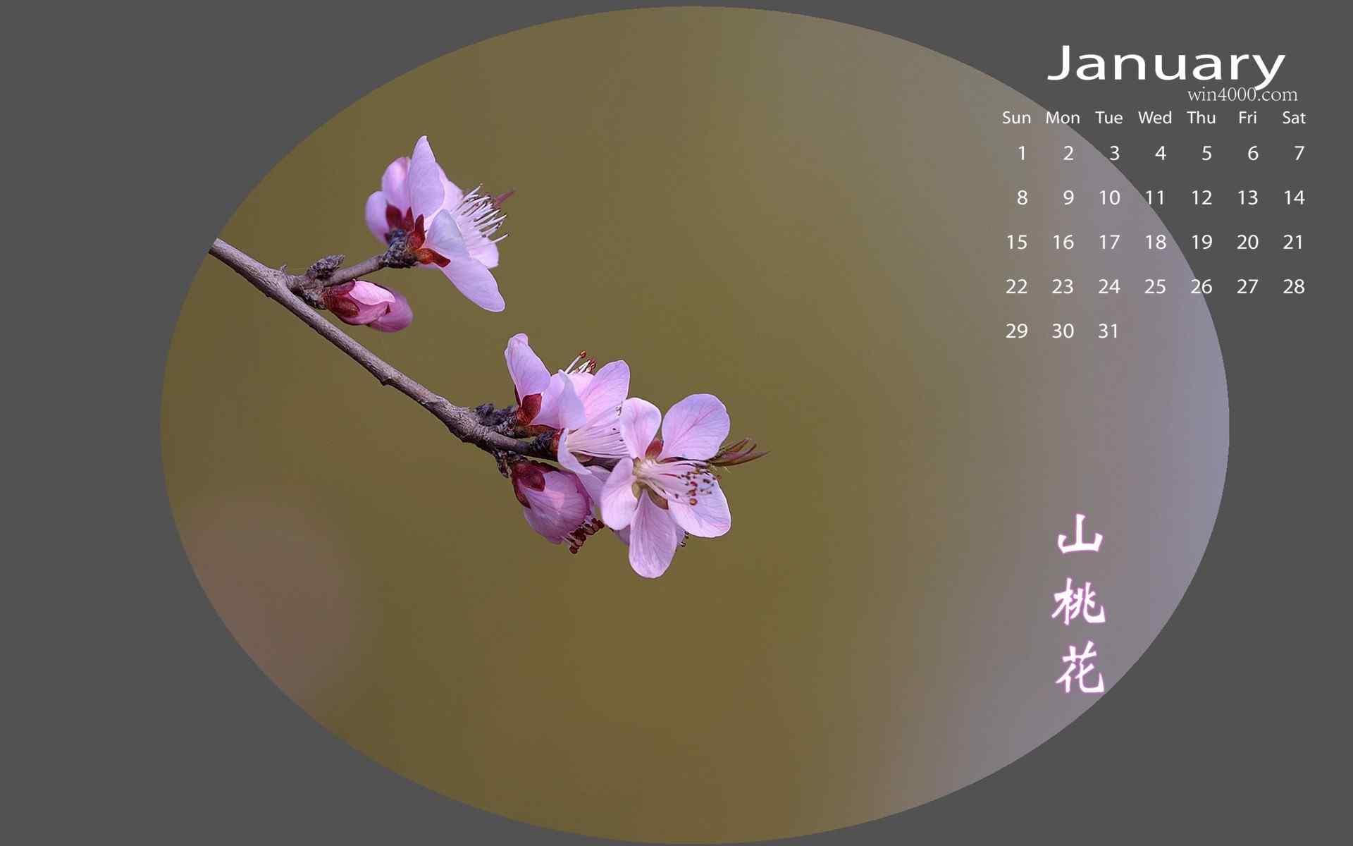 月日历美丽的山桃花图片桌面壁纸图片