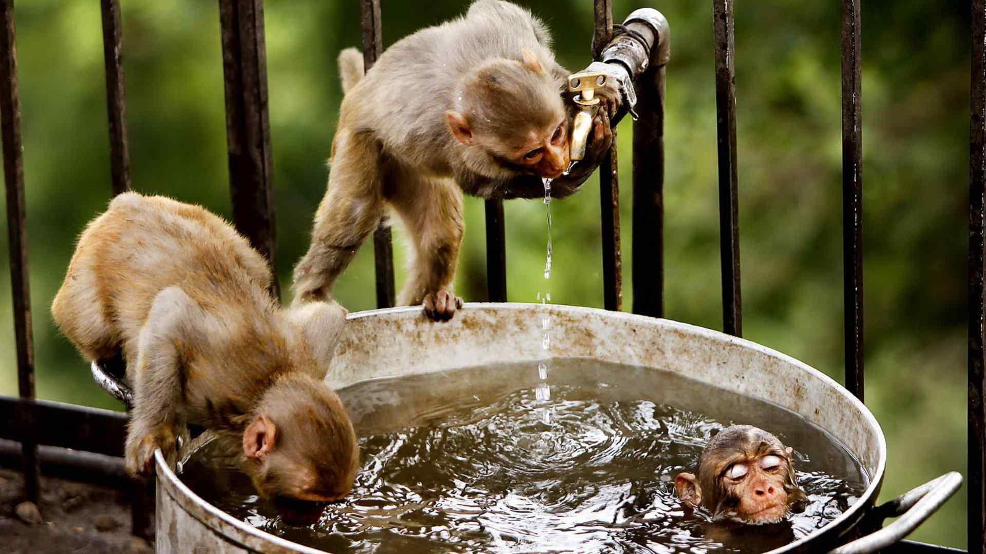 呆萌可爱的小猴子摄影图片高清壁纸,猴子,是三种类人猿灵长目动物的成员,灵长目是动物界的种群,猴子一般大脑发达,眼眶朝向前方,眶间距窄,手和脚的趾(指)分开,大拇指灵活,多数能与其他趾(指)对握。包括原猴亚目和猿猴亚目。欢迎继续关注桌面天下寻找更多你喜欢的优质壁纸图片。