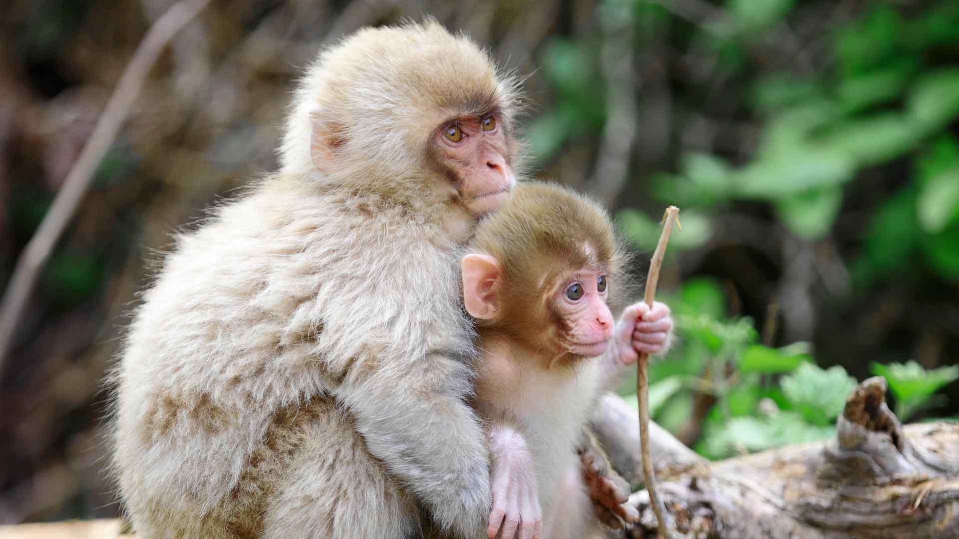 拥抱一起的猴子可爱摄影图片桌面壁纸,猴子,是三种类人猿灵长目动物的成员,灵长目是动物界的种群,猴子一般大脑发达,眼眶朝向前方,眶间距窄,手和脚的趾(指)分开,大拇指灵活,多数能与其他趾(指)对握。包括原猴亚目和猿猴亚目。欢迎继续关注桌面天下寻找更多你喜欢的优质壁纸图片。